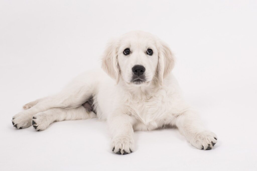 Golden Retriever puppy with a white background to introduce the tips to make golden retrievers live longer and increase your golden retriever life expectancy