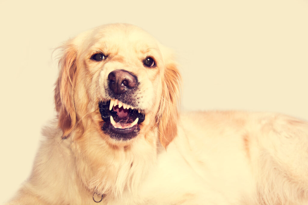 An image of a disgruntled golden retriever to illustrate why do golden retrievers get angry