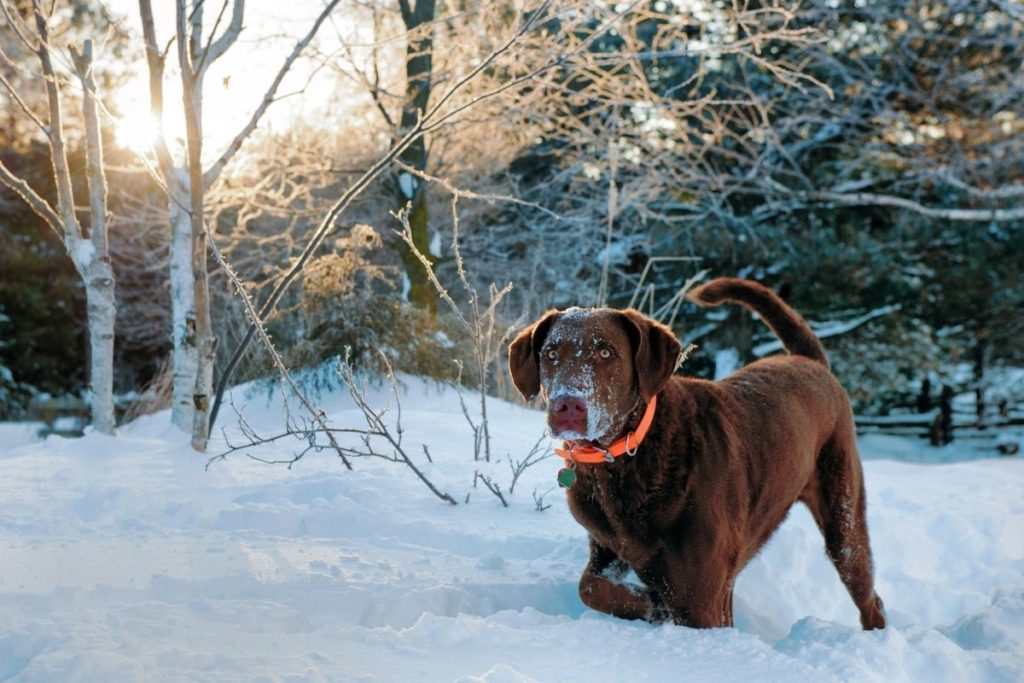 Chesapeake bay on snow to answer When Should Chesapeake Bay Retrievers Be Neutered