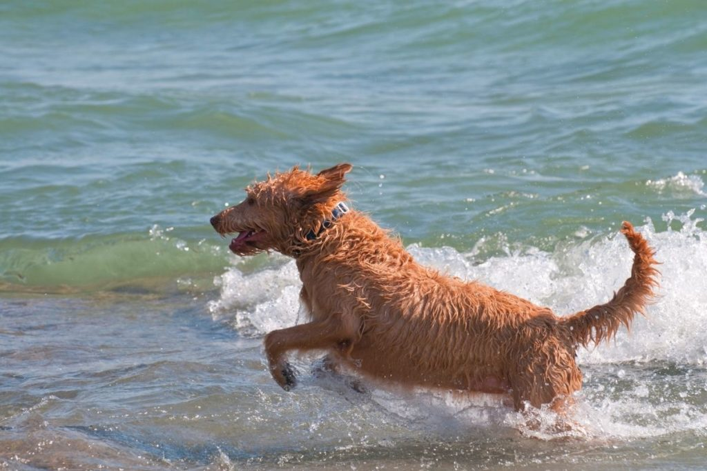 labradoodle running on beach to answer are Labradoodles hyper