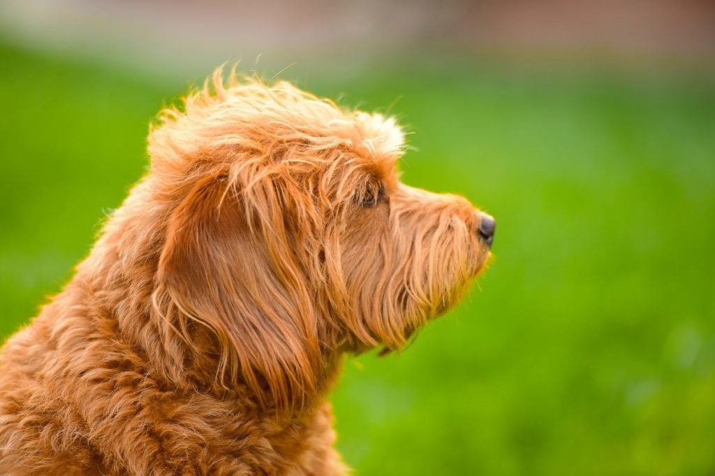 labradoodle to answer will your Labradoodle's hair grow back