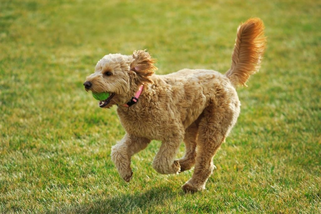 goldendoodle running with ball in mouth
