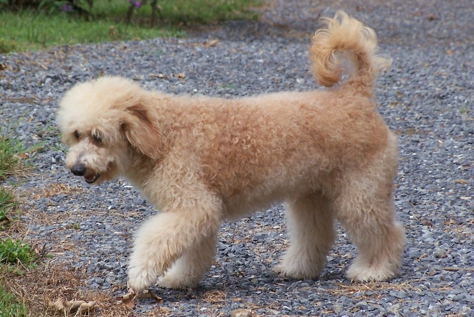 goldendoodle with curly tail to explain why do Goldendoodles tails curl